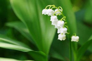 鈴蘭(スズラン)の花